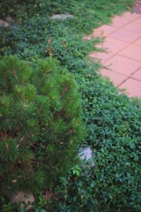 Periwinkle used as ground cover with Mugho Pine