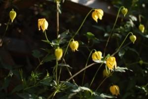 Clematis tangutica flowers