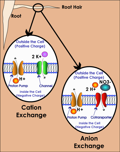 Cation and Anion Exchange in Cells of Root Hairs