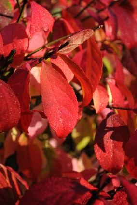 Burning Bush Euonymus Alatus - fall foliage