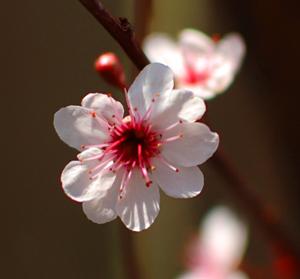 Purple leaf sand cherry blossom