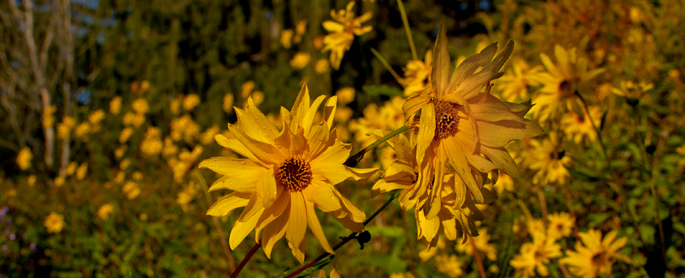 Black-eyed Susans at the Fletcher Wildlife Garden
