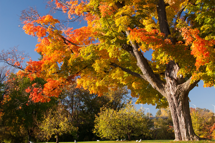 Vincent Massey Park Maple Tree Fall