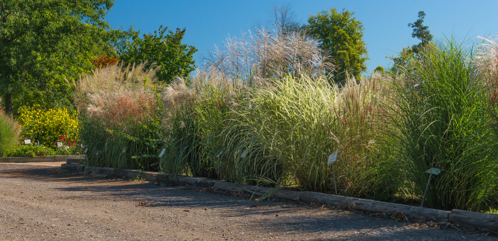 Miscanthus grasses at Artistic Landscapes