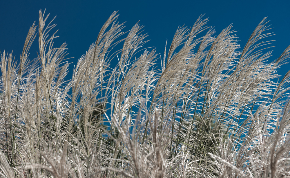 Miscanthus grass plumes